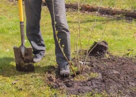 Mann Pflanzt Brombeer Pflanze Im Garten