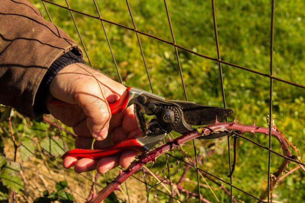 Mann schneidet Brombeer Pflanze zu