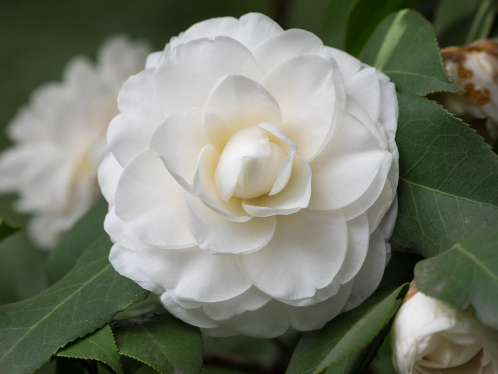 Matterhorn Kamelie weiße Blüte