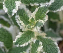 Minze Als Pflanze