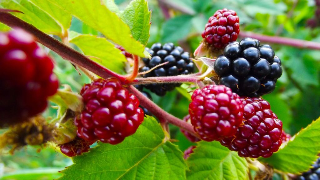 Brombeere mit roten und schwarzen Beeren