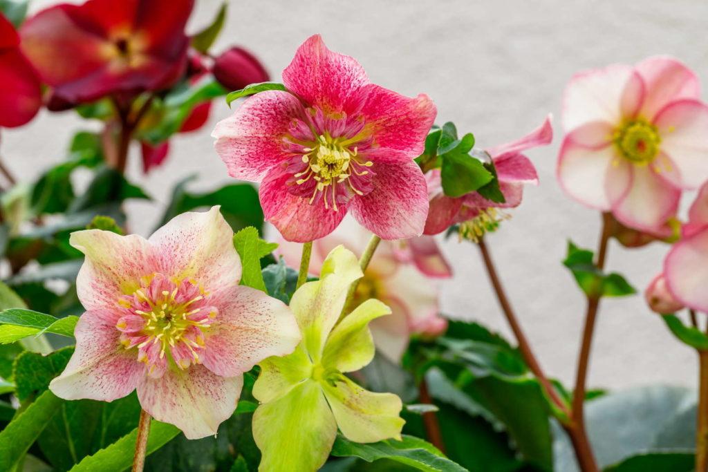 Nieswurz mit bunten Blüten