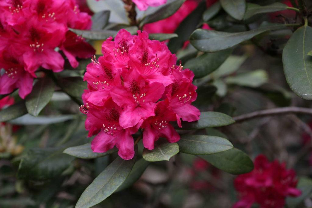 Rhododendronsorte 'Nova Zembla'