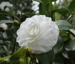 Nuccio's Gem Kamelie Blüte