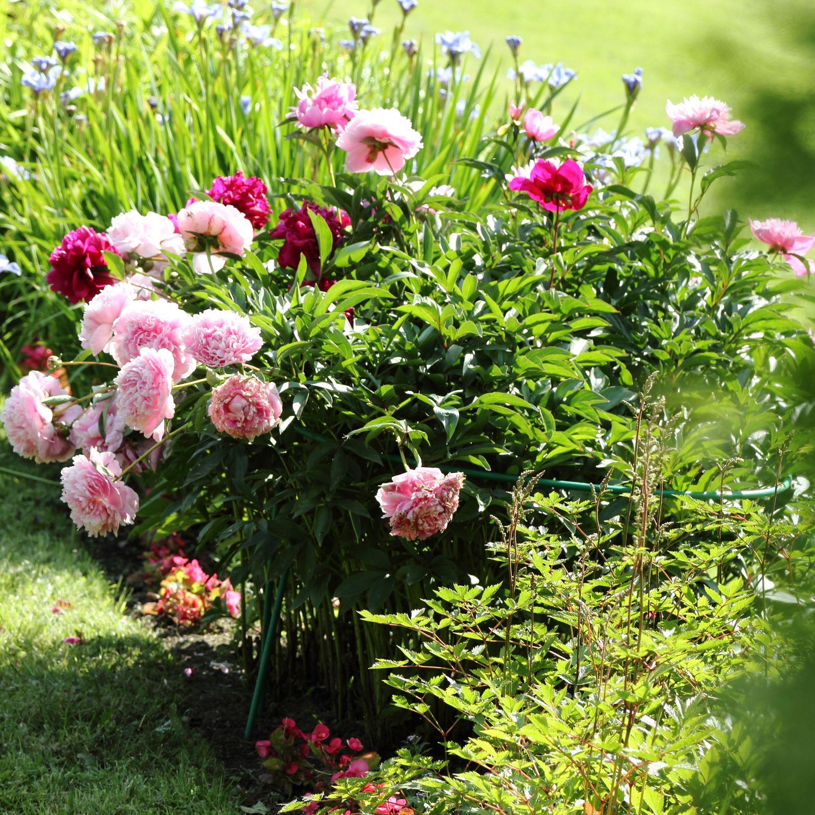 Pfingstrosen pflanzen 3 experten tipps zur auspflanzung for Pfingstrosen pflanzen