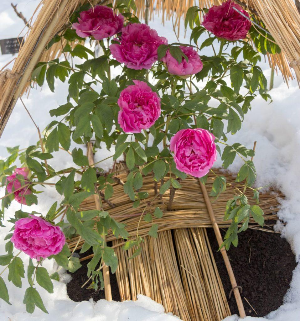 Pfingstrosen winterfest mit Stroh abgedeckt im Schnee