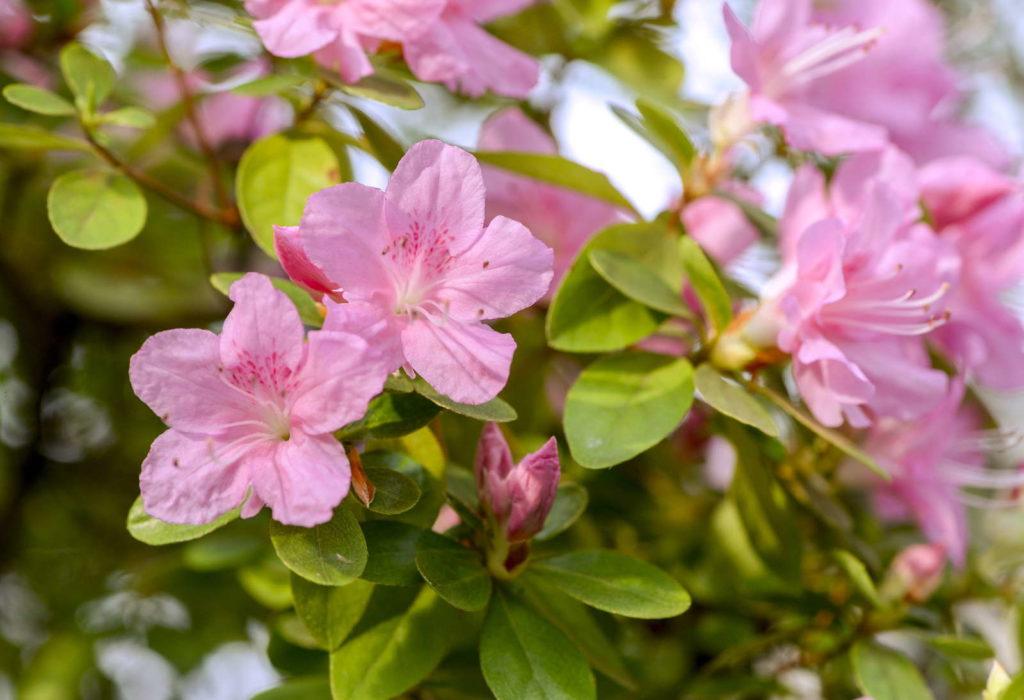 Pink azalea Blüten in einem Garten