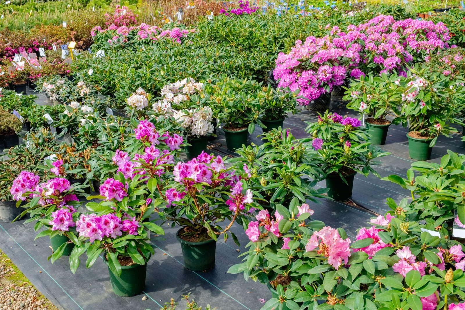 7a4870581ecf35 Bei spezialisierten Baumschulen gibt es eine große Sortenauswahl  Foto   Chamille White  Shutterstock.com
