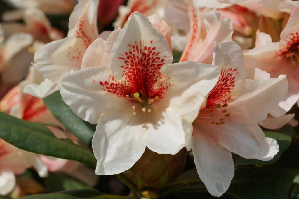 Rhododendron Amber Kiss Blüte