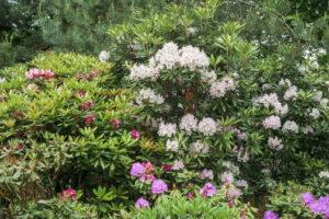 Rhododendron Busch Im Garten