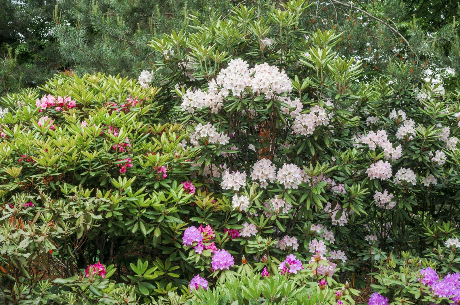 Prächtig Rhododendron kaufen: Kaufberatung & empfehlenswerte Bezugsquellen &MY_85