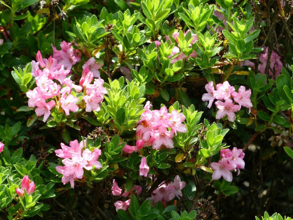 Rhododendron Hirsutum im Garten