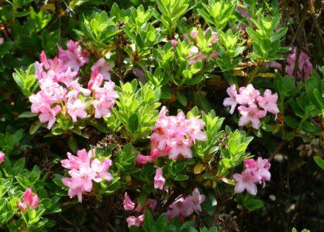 Rhododendron 'Bloombux': Eigenschaften & Besonderheiten