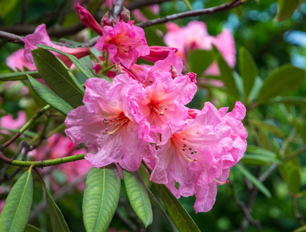 hododendron arboreum. Ebony Blüte