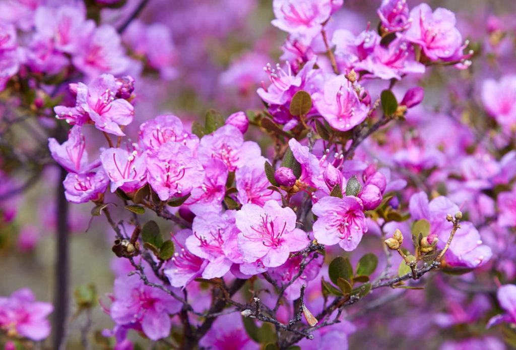 Rhododendron dauricum im Garten