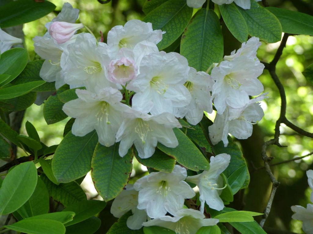 Rhododendron fortunei mit weißen Blüten