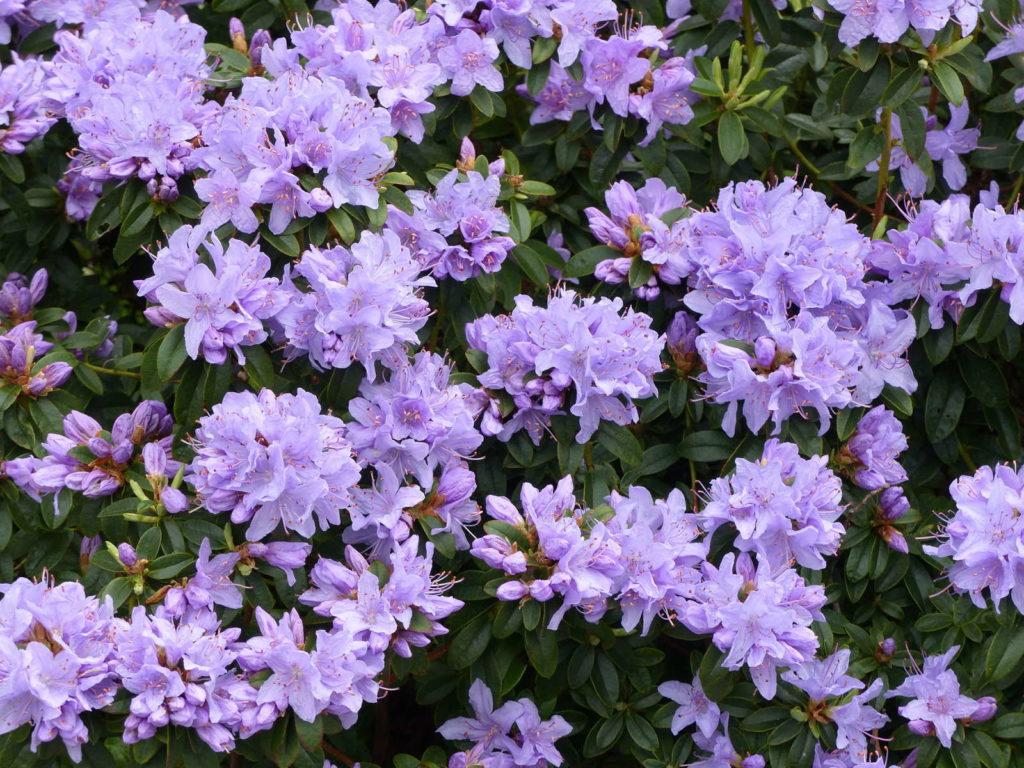 Rhododendron impeditum 'Moerheimii'im Garten