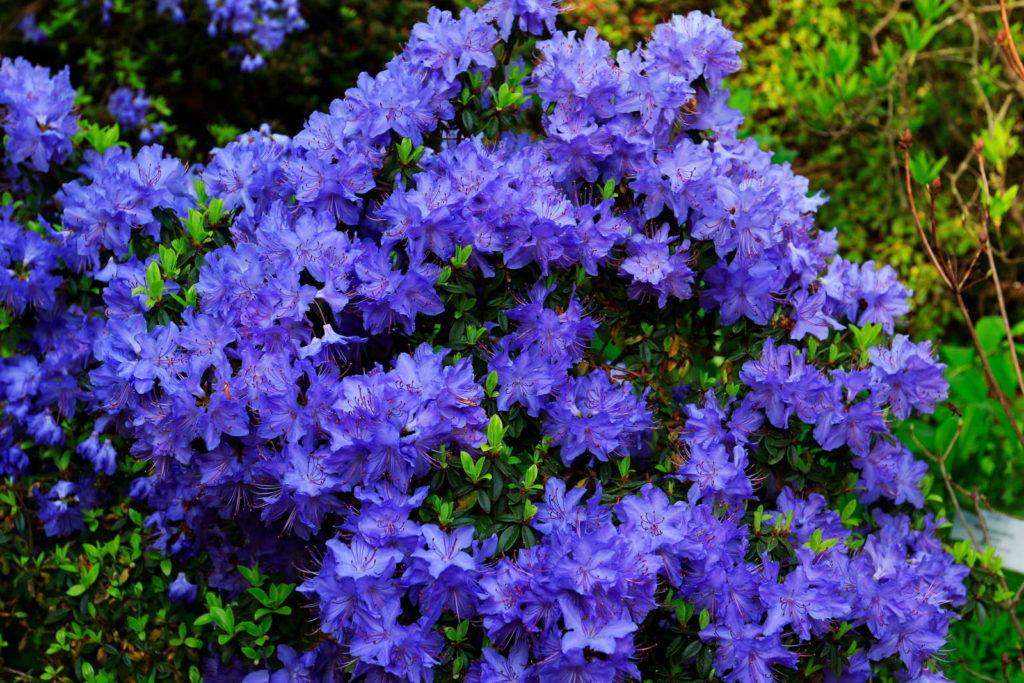 Rhododendron russatum 'Gletschernacht' Blüten