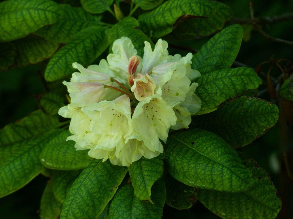 Rhododendron wardii, Goldbukett