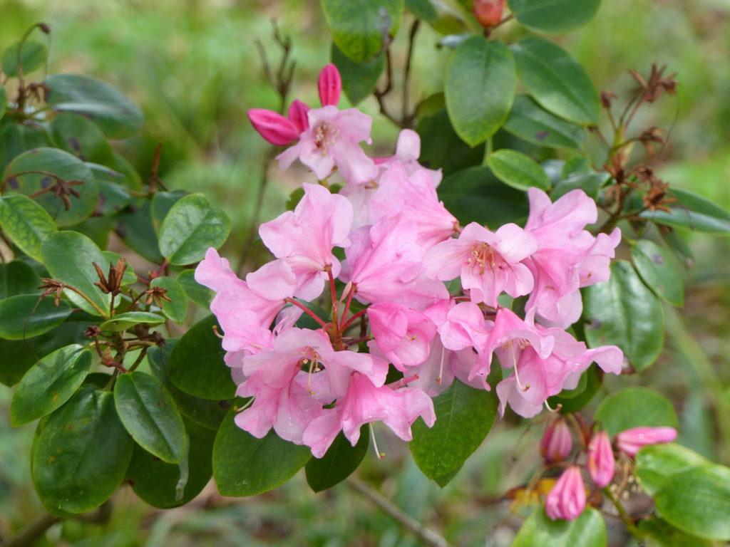 Rhododendron williamsianum 'Humming Bird' Blüten