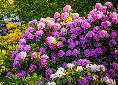 Rhododendronbusch Im Garten