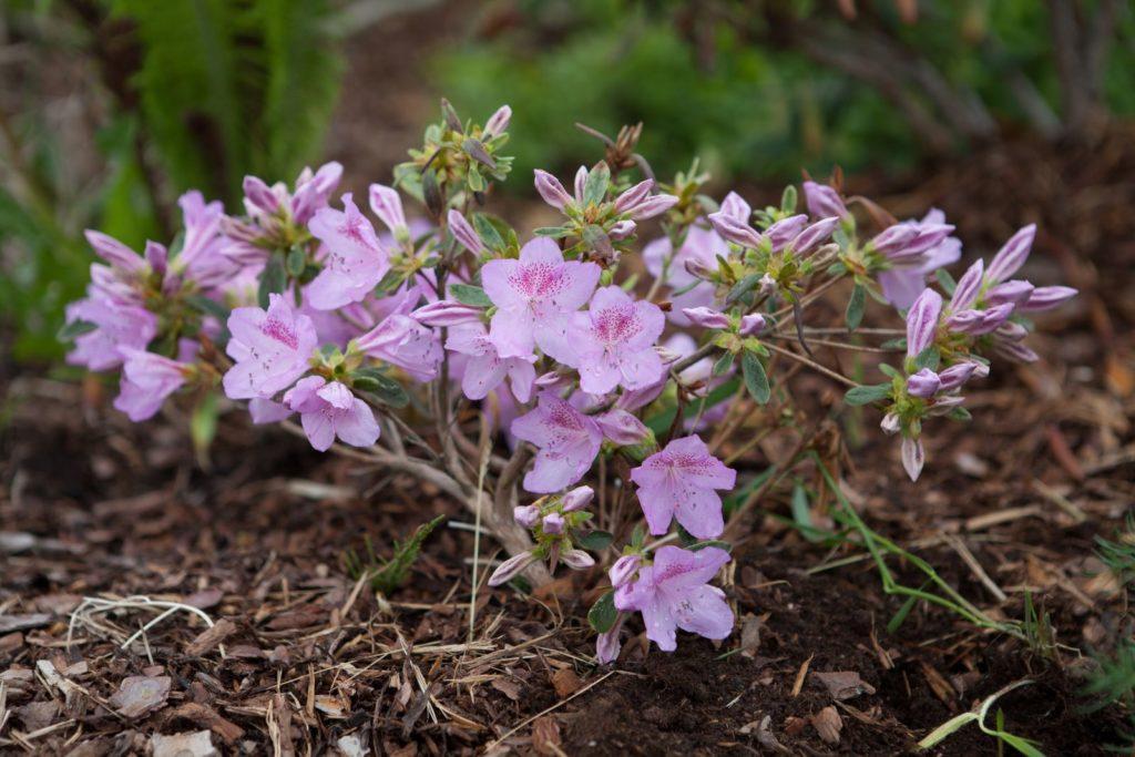 Rhododrendron klein im Garten mit Erde