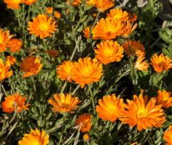 Ringelblume Als Pflanze