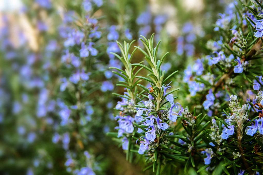 Rosmarin mit blauen Blüten