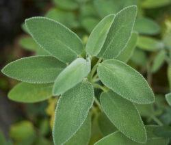 Salbei Als Pflanze