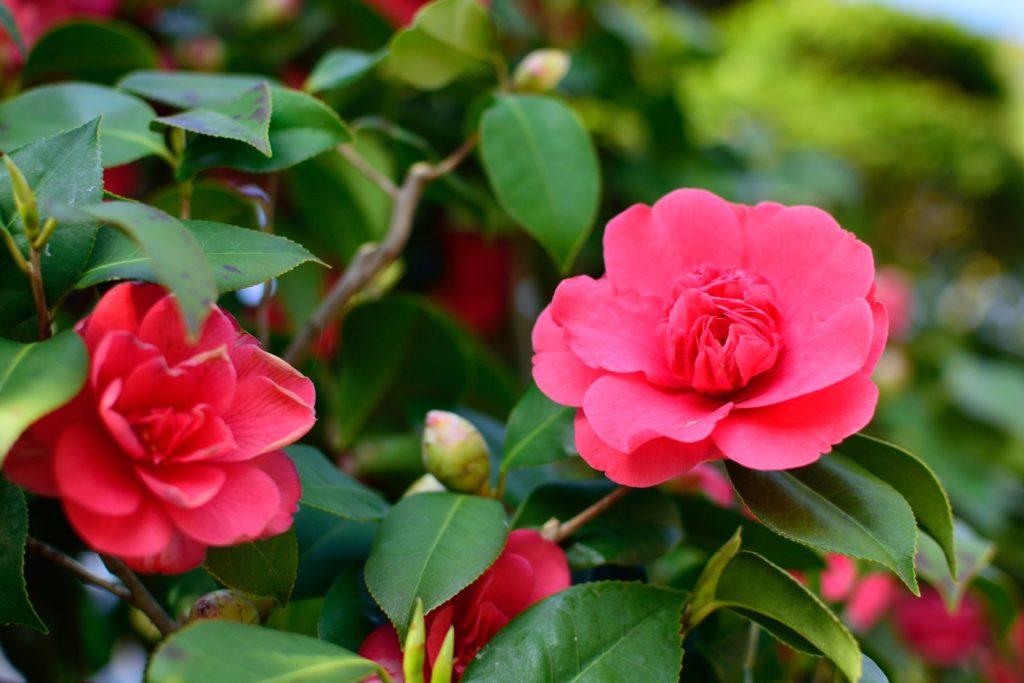 Sasanqua Kamelie rosa