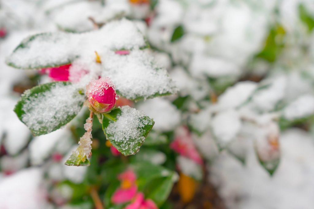 Sasanqua camellia Knospe unter Schnee