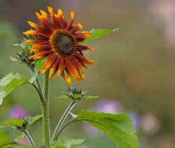 Sonnenbluem Terracotta