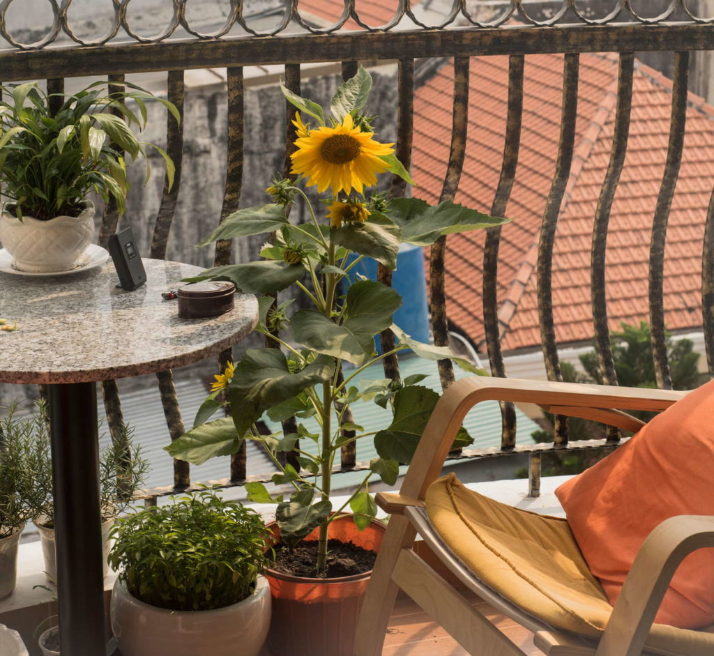 Sonnenblume auf dem Balkon