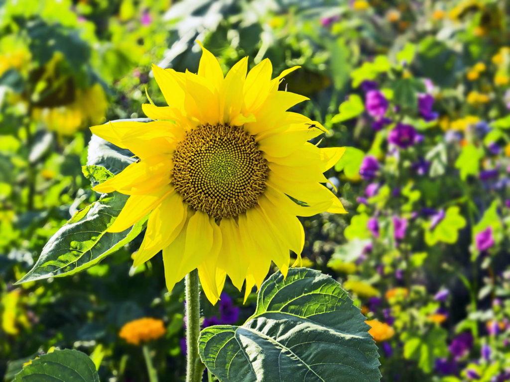 Sonnenblume im garten im Beet