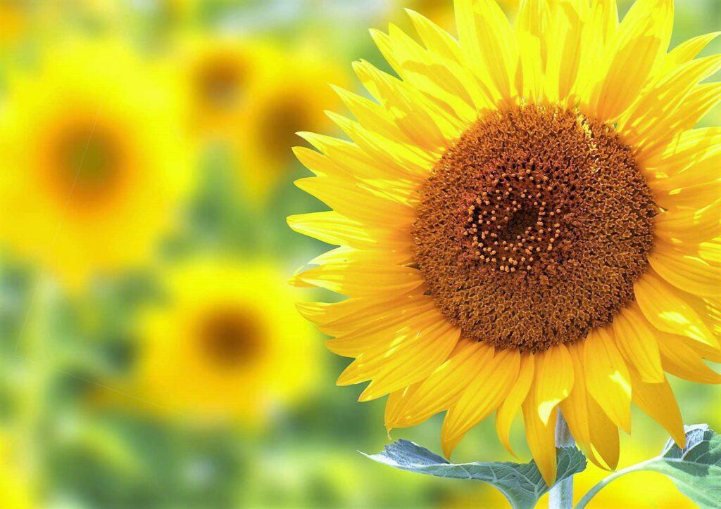 Sonnenblume knallgelb