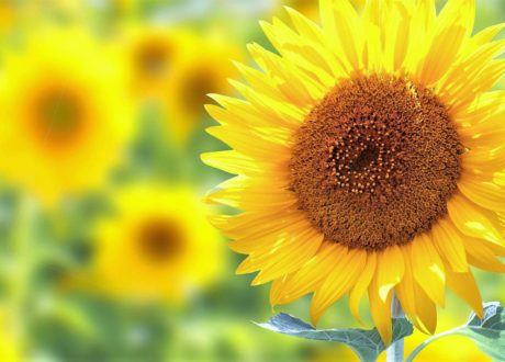 Sonnenblumen Pflanzen: Anleitung Für Topf, Beet & Balkon
