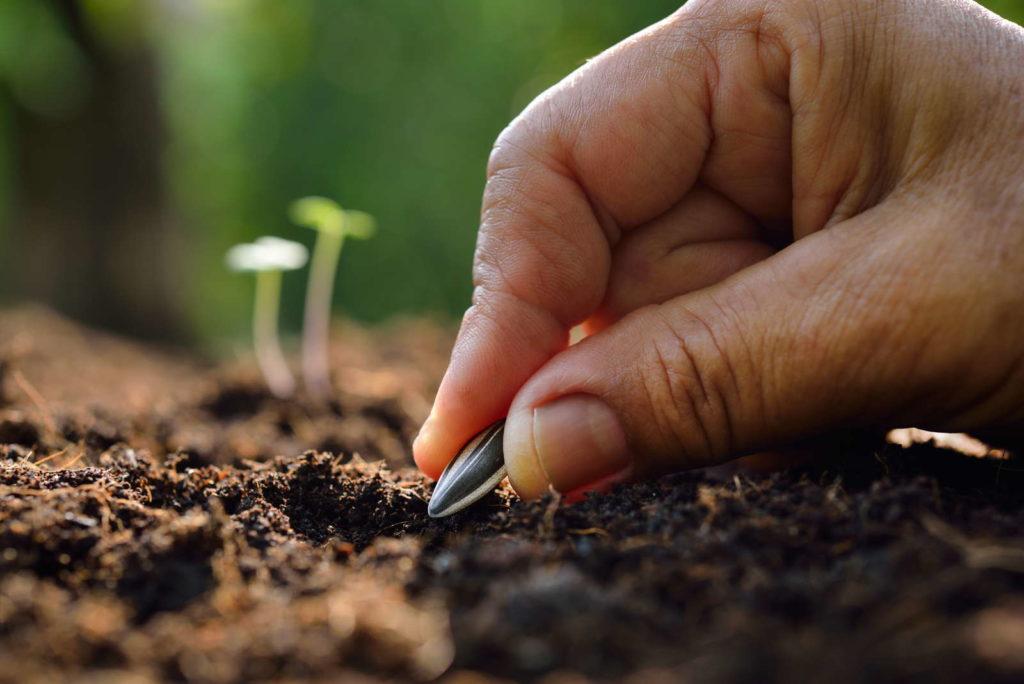 Sonnenblumen Samen einpflanzen