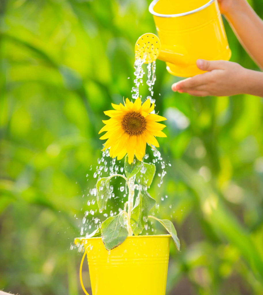 Sonnenblumen gießen hand mit Gießkanne