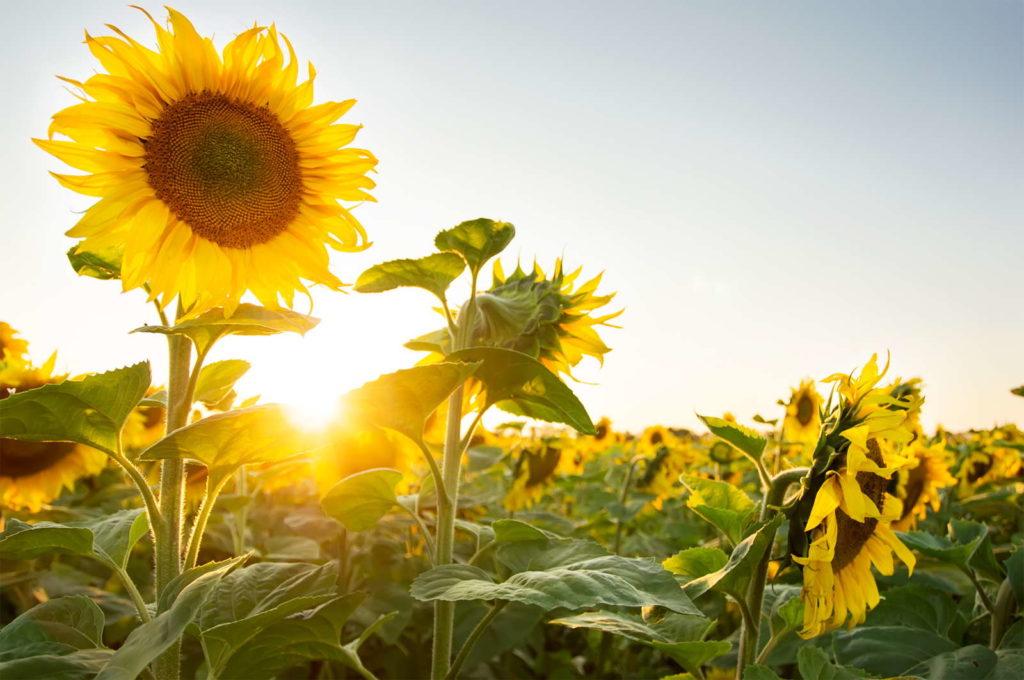 Sonnenblumen im Feld Sonnenuntergang