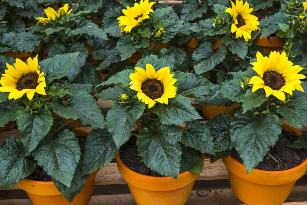 Viele Sonnenblumen in Töpfen