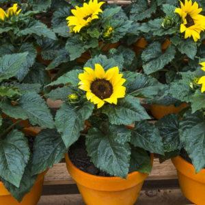 Sonnenblumen Pflanzzeit