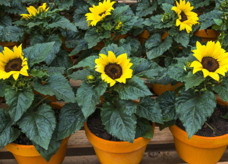 Sonnenblumen Im Topf: Tipps Für Eine Lange Blüte
