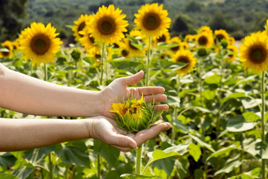 Sonnenblumen in der Hand