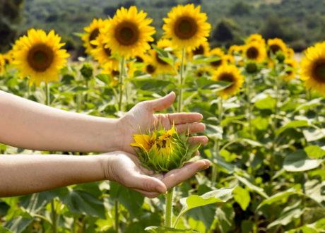 Sonnenblumen: Alles Zum Pflanzen, Pflegen & Ernten
