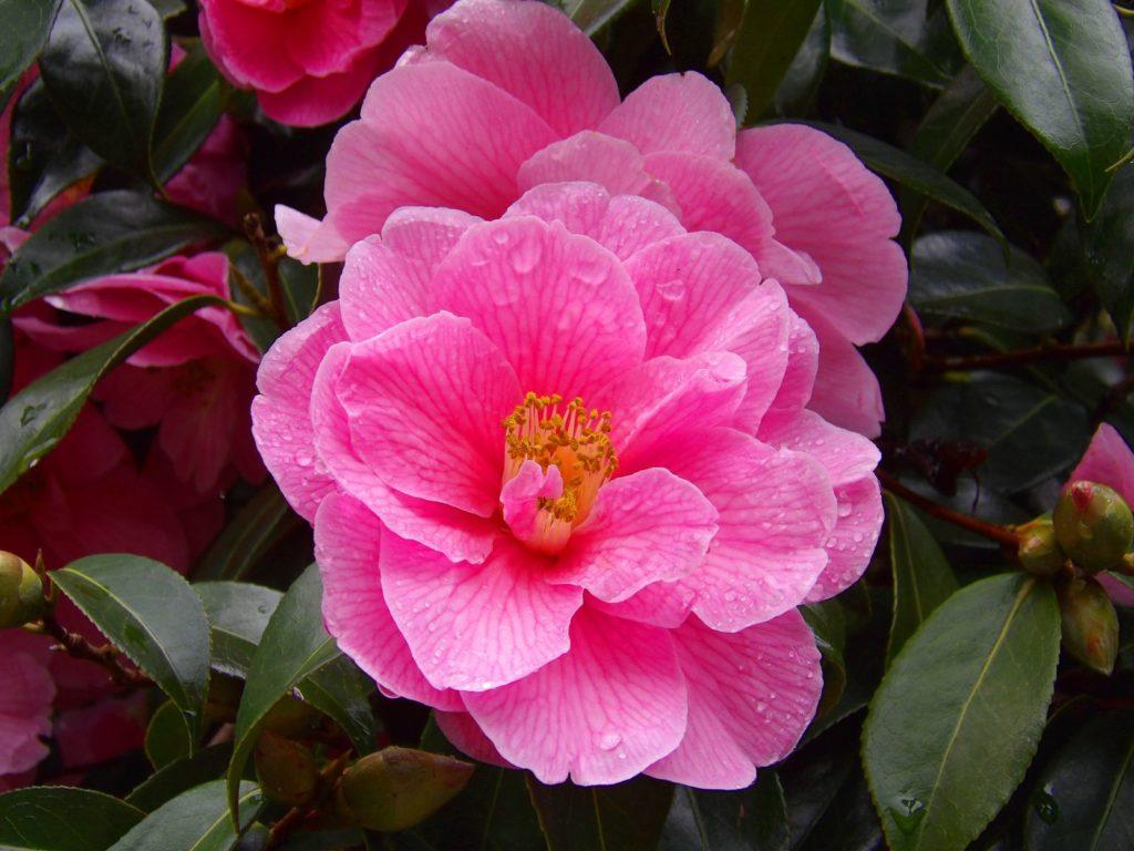 Spring's Promise Kamelie rosa Blüte