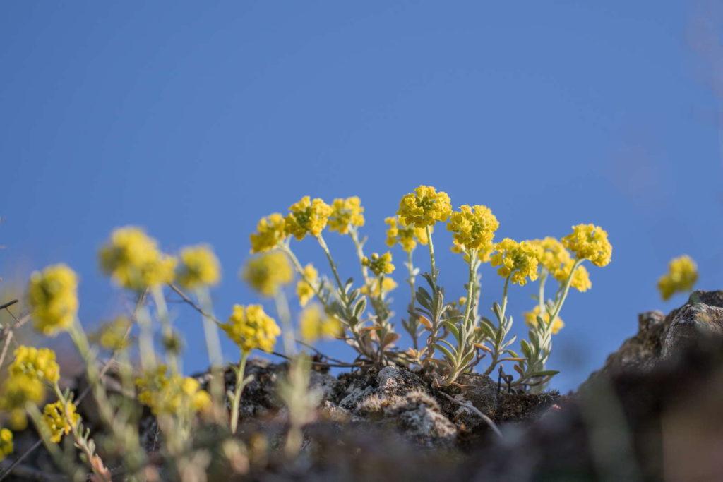Steinkraut mit gelben Blüten