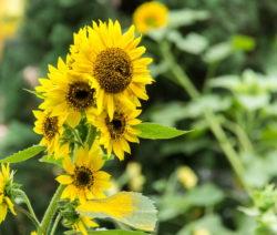 Sunny Smile Sonnenblume