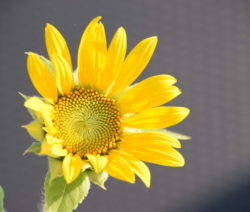 Sunspot Sonnenblume