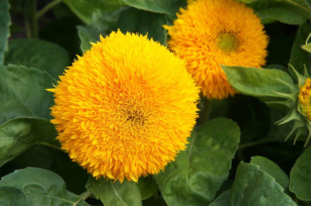 Teddybär Sonnenblumen