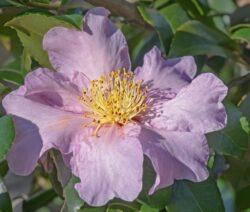 Winter's Star Hybrid Camellia Violet